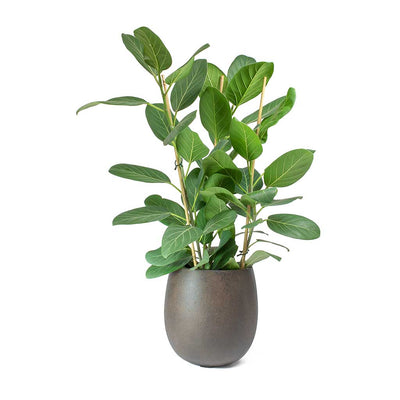Ficus benghalensis Audrey - Bengal Fig & Rusty Iron Balloon Planter