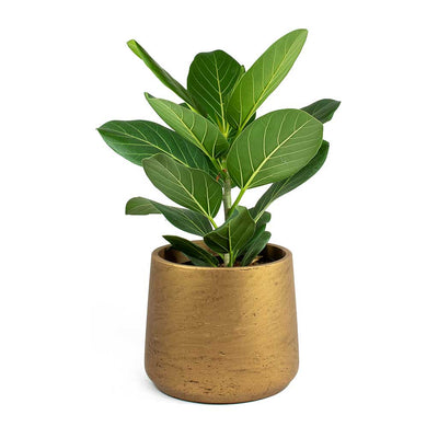 Ficus benghalensis Audrey Bengal Fig & Patt Plant Pot - Metallic Copper