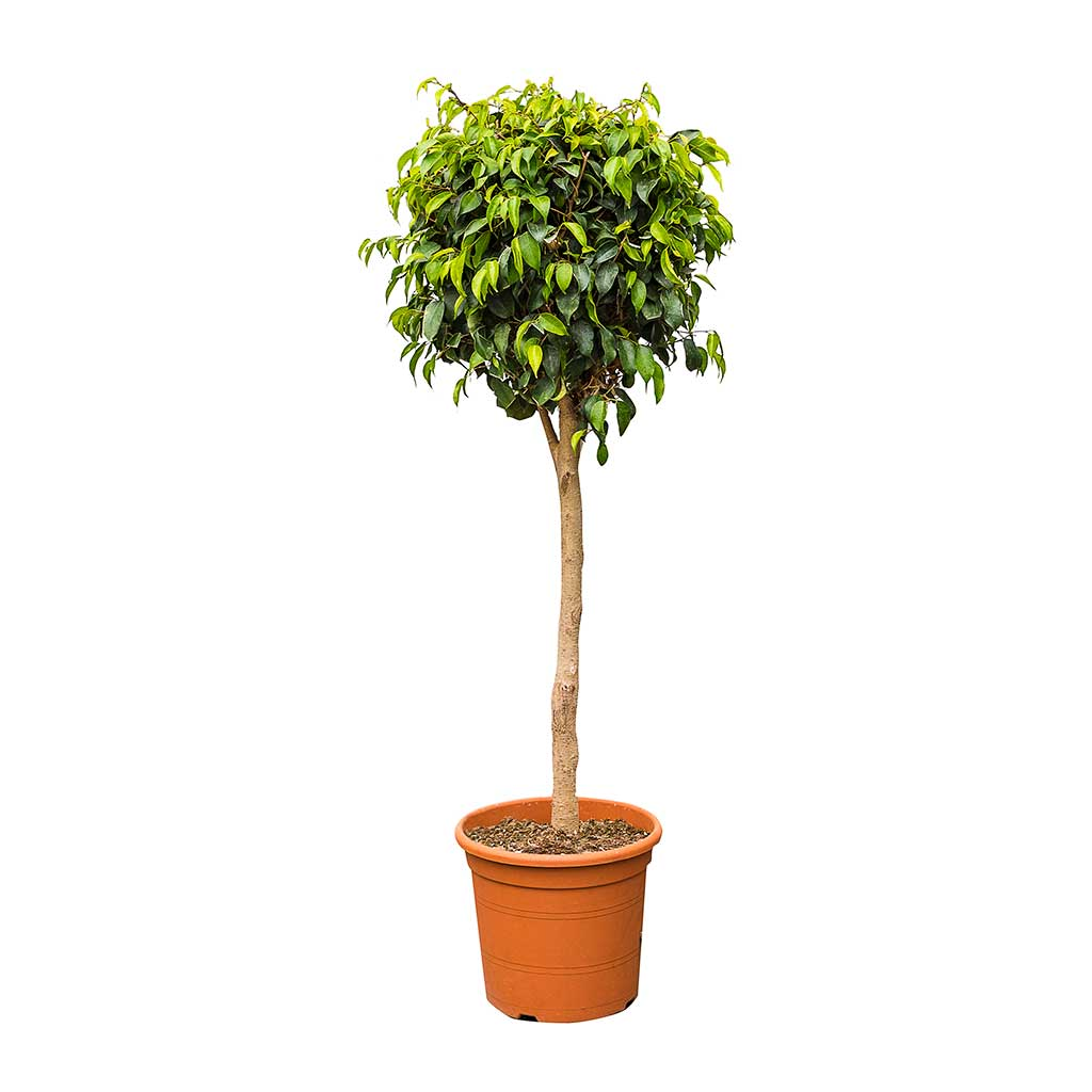 Ficus benjamina Danielle - Weeping Fig - Straight Stem