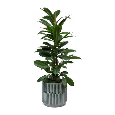 Ficus cyathistipula African Fig & Onno Plant Pot Blue