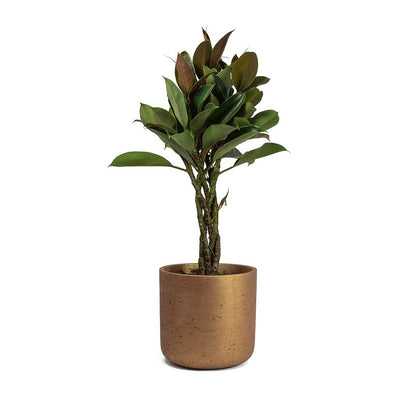 Ficus elastica Melany Rubber Plant Braided Stem & Charlie Plant Pot Metallic Copper