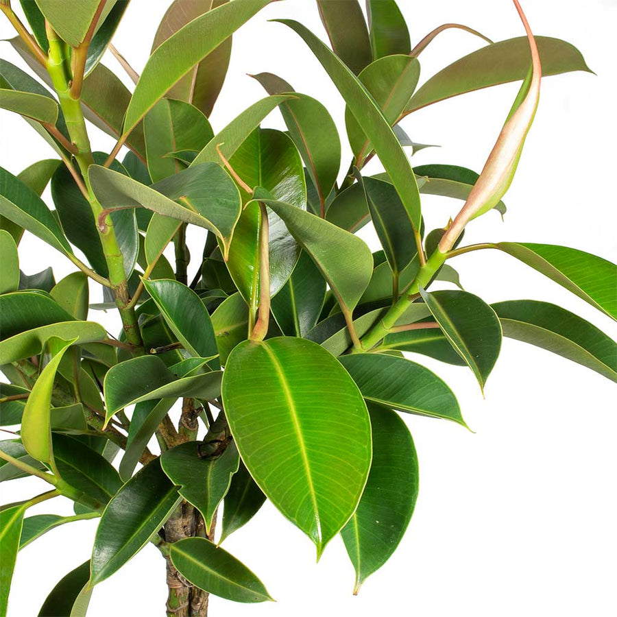 Ficus elastica Melany - Rubber Plant - Straight Stem