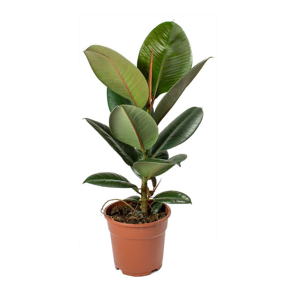 Ficus elastica Robusta - Rubber Plant on rubber plant light requirements, india rubber plant, rubber tree plant, rubber plant care tips, rubber floor covering, rubber succulents, rubber leaf plant, rubber freeze plug, tall rubber plant, rubber patio, baby rubber plant, green rubber plant, jade plant, rubber paint coating, american rubber plant, rubber looking plant, rubber plank flooring, rubber fruit plant, outdoor rubber plant,