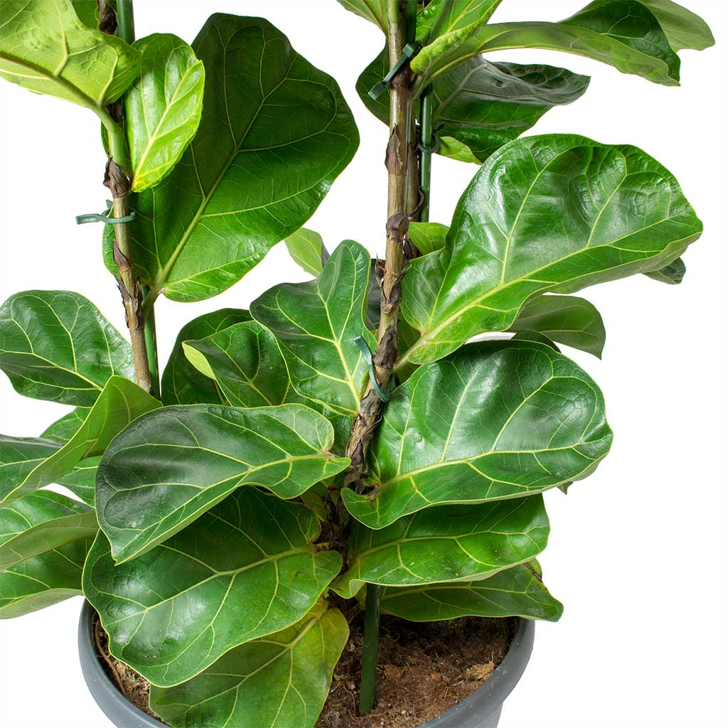 Ficus Lyrata Bambino Dwarf Fiddle Leaf Fig Hortology
