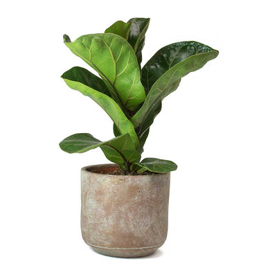 Ficus lyrata Bambino - Dwarf Fiddle Leaf Fig & Saar Terra Earth Plant Pot