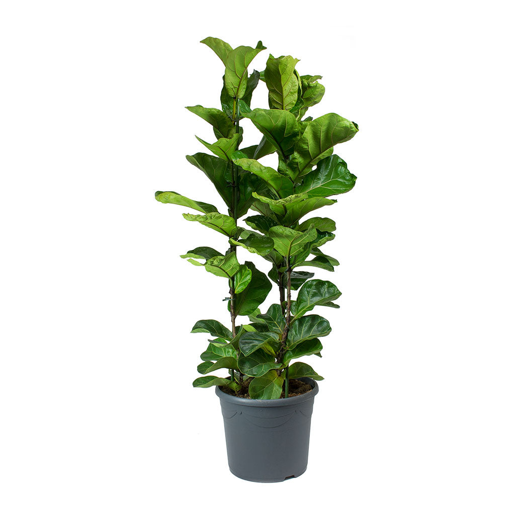 Ficus lyrata Bambino - Dwarf Fiddle Leaf Fig 110cm