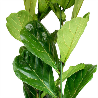 Ficus lyrata - Fiddle Leaf Fig Leaves
