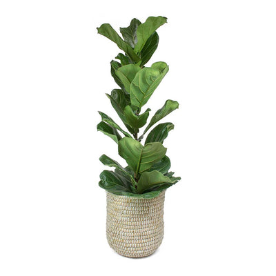 Ficus lyrata Fiddle Leaf Fig Scandi Woven Basket White Weave