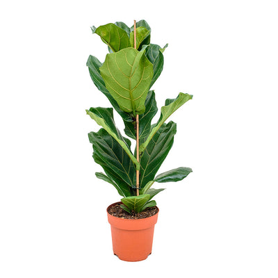 Ficus lyrata - Fiddle Leaf Fig 21x90cm