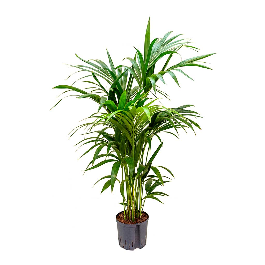 Howea Kentia Palm Hydroculture Indoor Plant 140cm