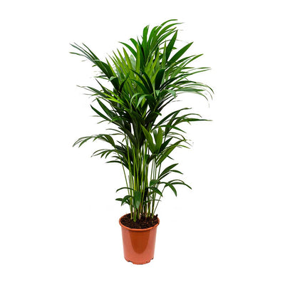 Howea forsteriana - Kentia Indoor Palm 27 x 150cm