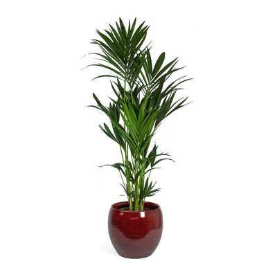 Howea forsteriana Kentia Palm & Cresta Plant Pot Deep Red
