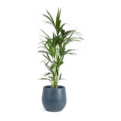 Howea forsteriana Kentia Palm & Esra Plant Pot Dark Blue
