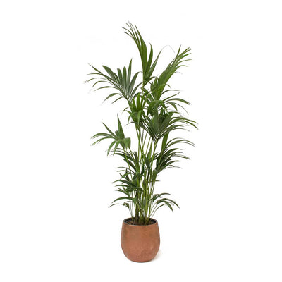 Howea forsteriana - Kentia Palm Esra Rust Plant Pot