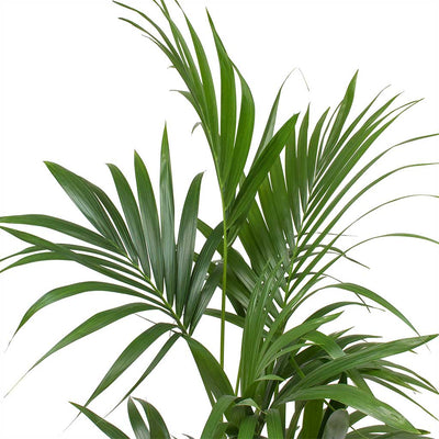 Howea forsteriana - Kentia Palm Large Leaves
