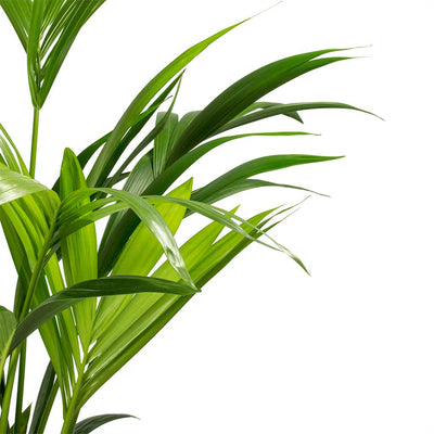 Howea forsteriana - Kentia Palm - Leaves
