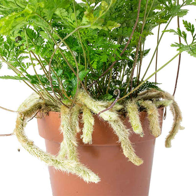 Humata tyermannii - White Rabbit's Foot Fern Roots