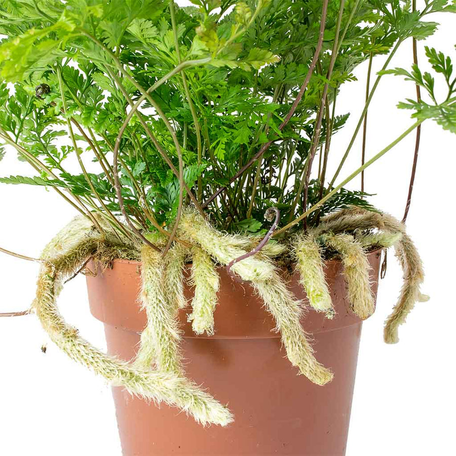 Humata tyermannii - White Rabbit's Foot Fern 25cm