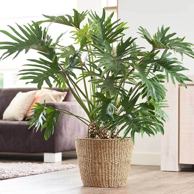 Jip Plant Basket - Natural & Philodendron