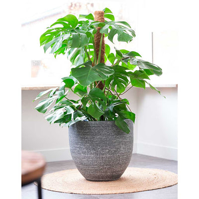 Karlijn Plant Pot - Anthracite - Monstera deliciosa - Swiss Cheese Plant - Moss Pole