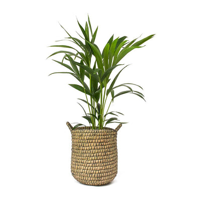 Kentia Palm & Scandi Plant Basket