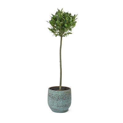 Laurus nobilis - Bay Tree & Evi Antique Bronze Plant Pot