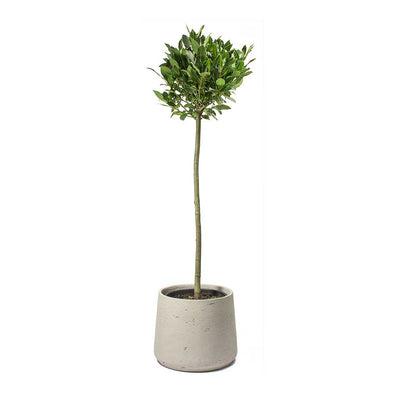 Laurus nobilis - Bay Tree & Patt Grey Washed Plant Pot