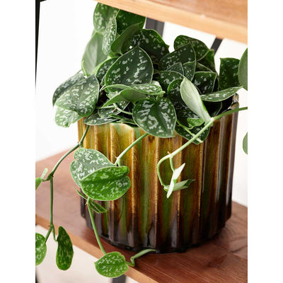 Leoni Plant Pot - Yellow & Satin Pothos Houseplant
