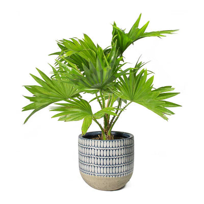 Livistona rotundifolia Footstool Palm & Elin Plant Pot Denim