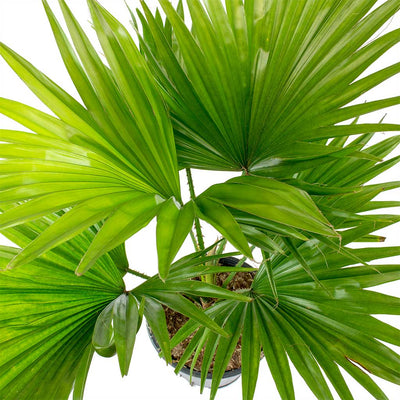 Livistona rotundifolia - Footstool Palm Leaves