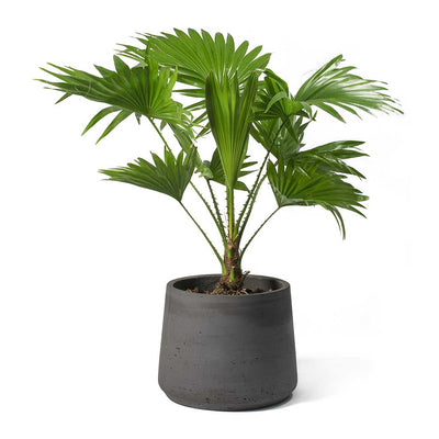 Livistona rotundifolia - Footstool Palm & Patt Plant Pot