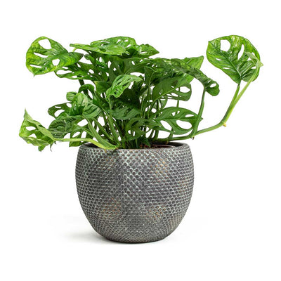 Monstera-adansonii Philodendron Monkey Mask & Fay Plant Pot - Blue Gold