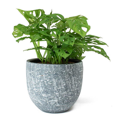 Monstera adansonii Philodendron Monkey Mask & Karlijn Plant Pot Anthracite