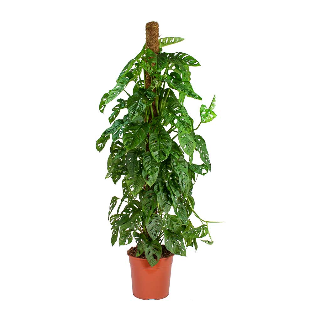 Monstera adansonii - Philodendron Monkey Mask - Moss Pole - Large