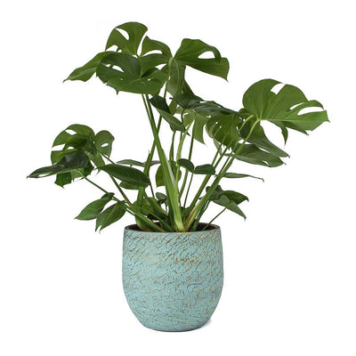 Monstera deliciosa - Swiss Cheese Plant & Evi Antique Bronze Plant Pot