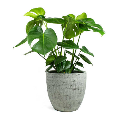 Monstera deliciosa Swiss Cheese Plant & Karlijn Plant Pot - Mint