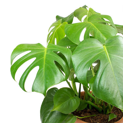 Monstera deliciosa - Swiss Cheese Plant Leaves