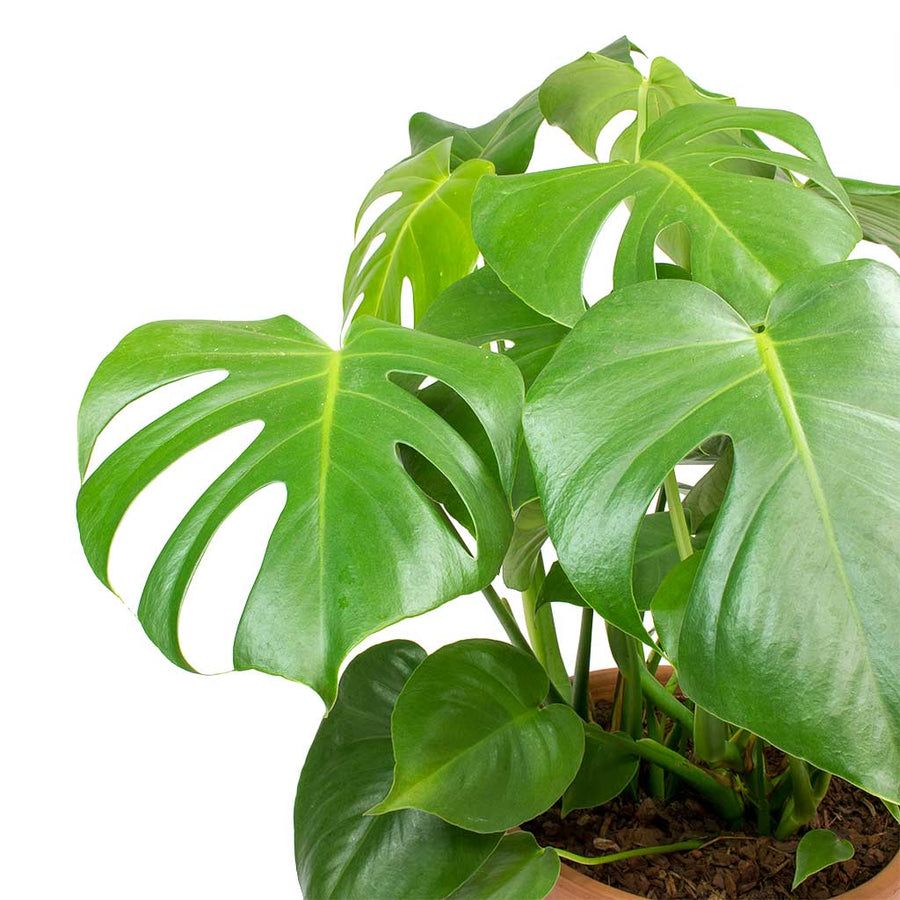 Monstera deliciosa - Swiss Cheese Plant 60cm