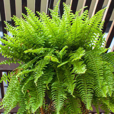 Nephrolepis exaltata Bostoniensis - Boston Fern Hanging