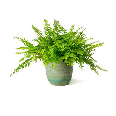 Nephrolepis exaltata Bostoniensis Boston Fern & Lara Plant Pot Light Blue