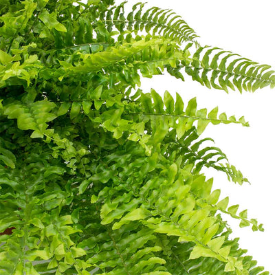 Nephrolepis exaltata Bostoniensis - Boston Fern Leaves