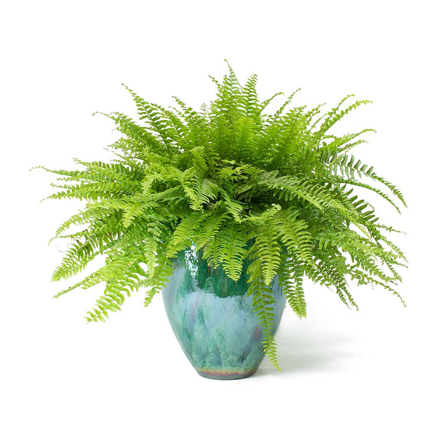 Nephrolepis exaltata Bostoniensis - Boston Fern