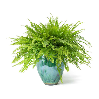 Nephrolepis exaltata Bostoniensis - Boston Fern & Copper Green Smooth Livin' Beauty Plant Pot