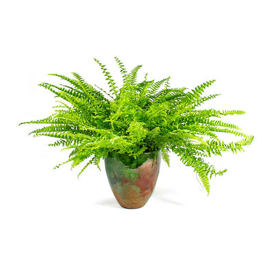 Nephrolepis exaltata Bostoniensis Boston Fern & Livin Beauty Flowerpot Copper Smooth