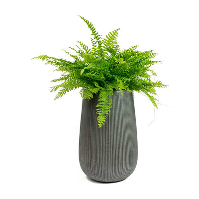 Nephrolepis exaltata Bostoniensis - Boston Fern & Patt High Plant Vase - Ridged Dark Grey