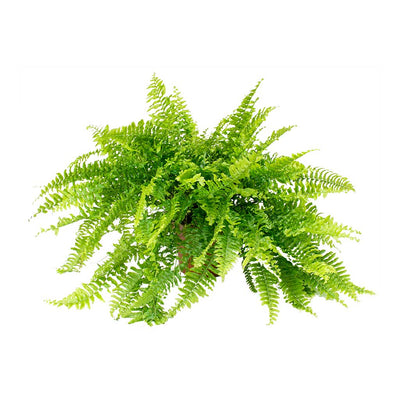 Nephrolepis exaltata Bostoniensis - Boston Fern 50cm