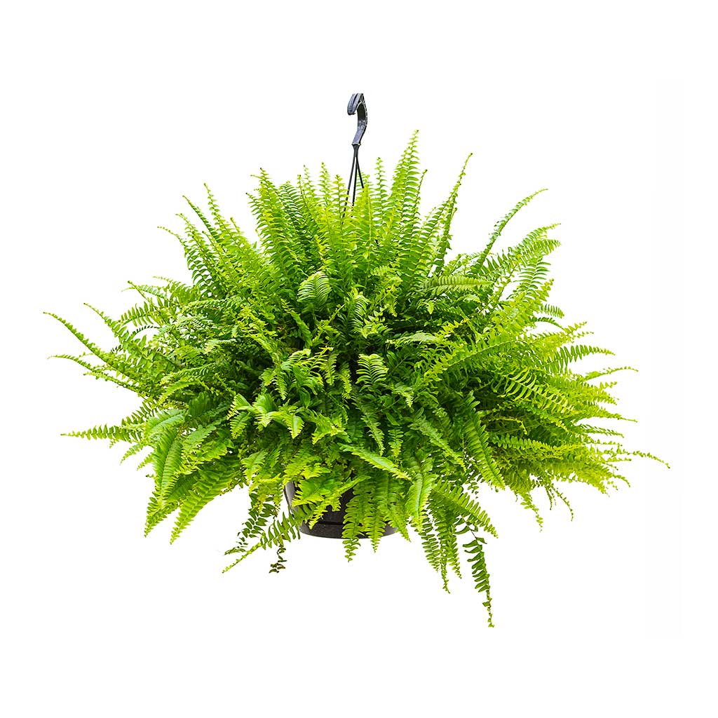 Nephrolepis exaltata Green Lady - Green Lady Boston Fern