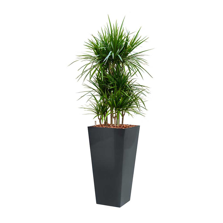 Dracaena marginata - Hydroculture - Square Runner Planter - Red