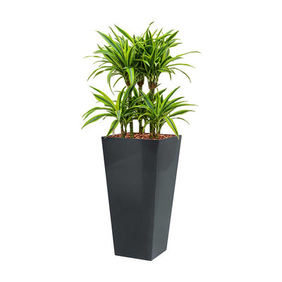 Dracaena Lemon Lime - Hydroculture - Square Runner Planter - Anthracite 130cm
