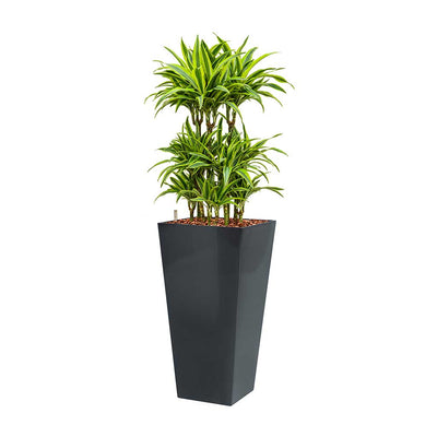Dracaena Lemon Lime - Hydroculture - Square Runner Planter - Anthracite 140cm